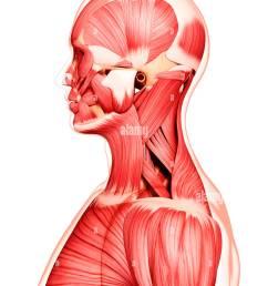human musculature artwork stock image [ 1051 x 1390 Pixel ]