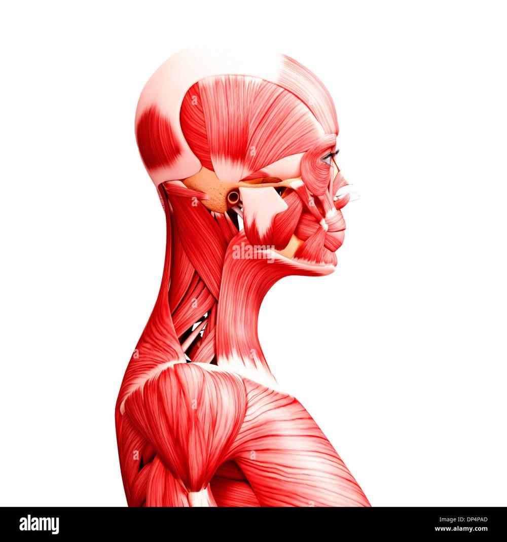 medium resolution of human musculature artwork stock image