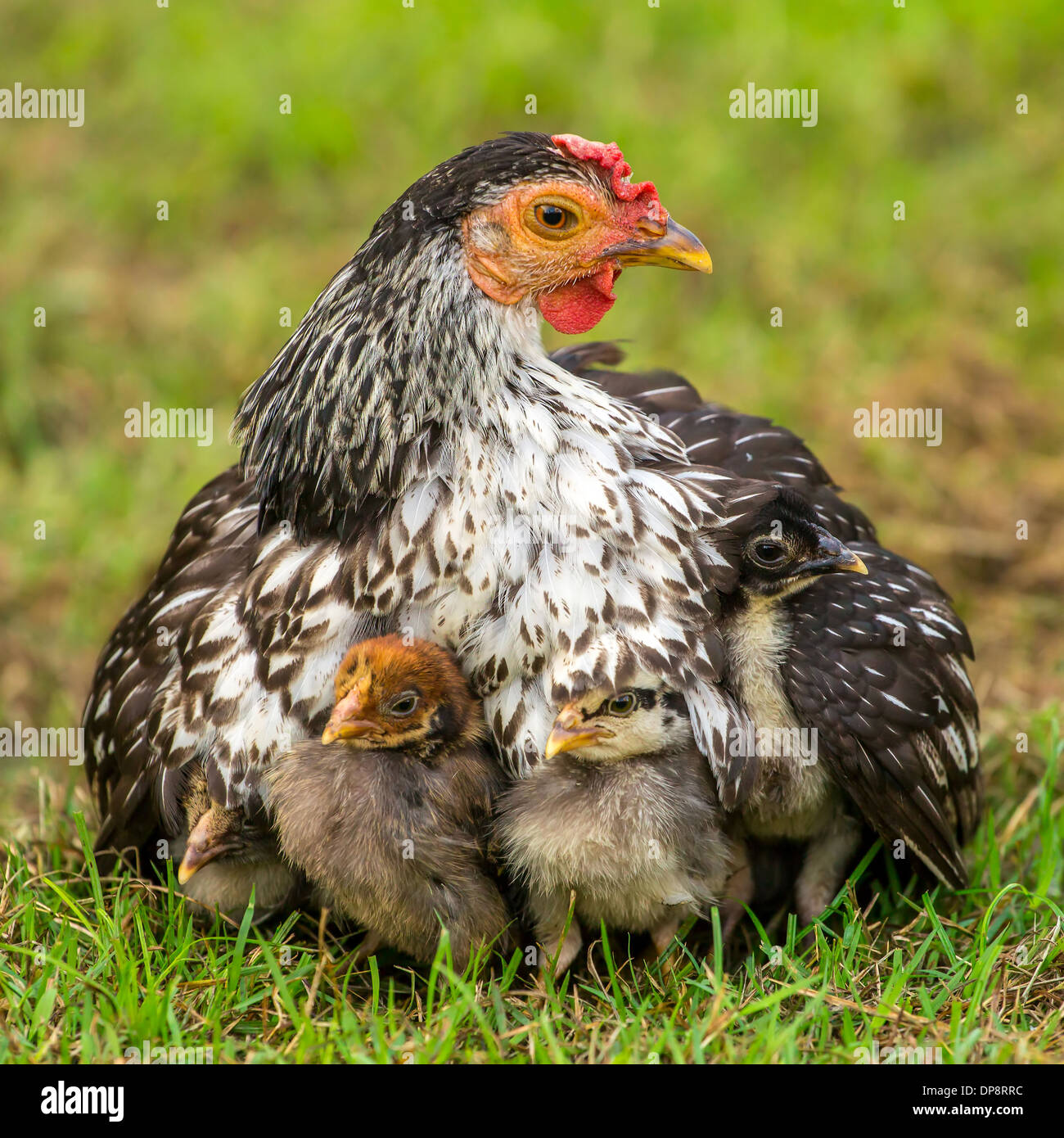 mother hen with its