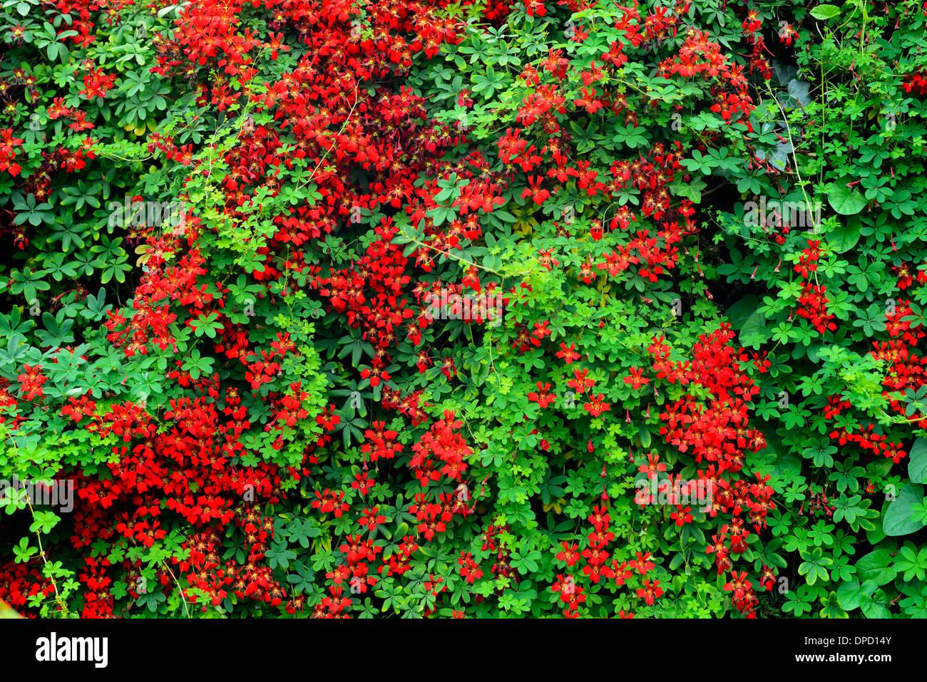 Red Tropaeolum Speciosum Climbing Plant Climber Creeper