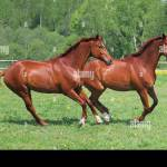 Two Beautiful Warmblood Horses Running Together In Summer Ranch Stock Photo Alamy