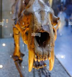 saber toothed tiger fossil at the natural history museum london stock image [ 863 x 1390 Pixel ]