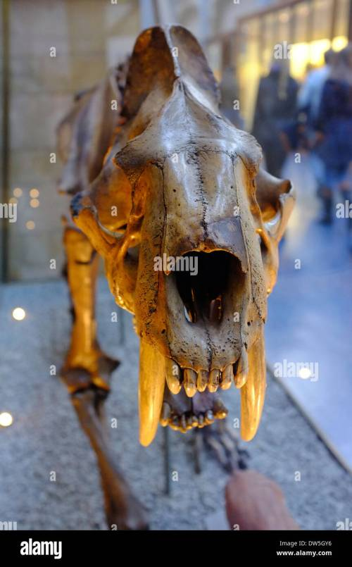 small resolution of saber toothed tiger fossil at the natural history museum london stock image