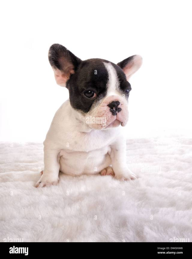 fat black and white french bulldog puppy on white stock