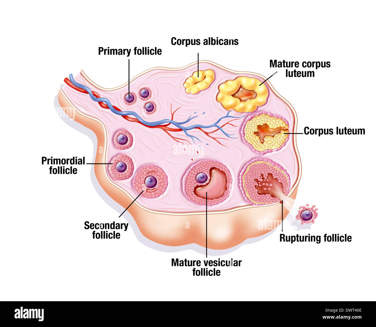 hight resolution of ovarian cycle drawing