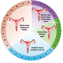 Diagram Of Learning Cycle Star Delta Starter Control Wiring With Timer Menstrual Drawing Stock Photo 67527520 Alamy