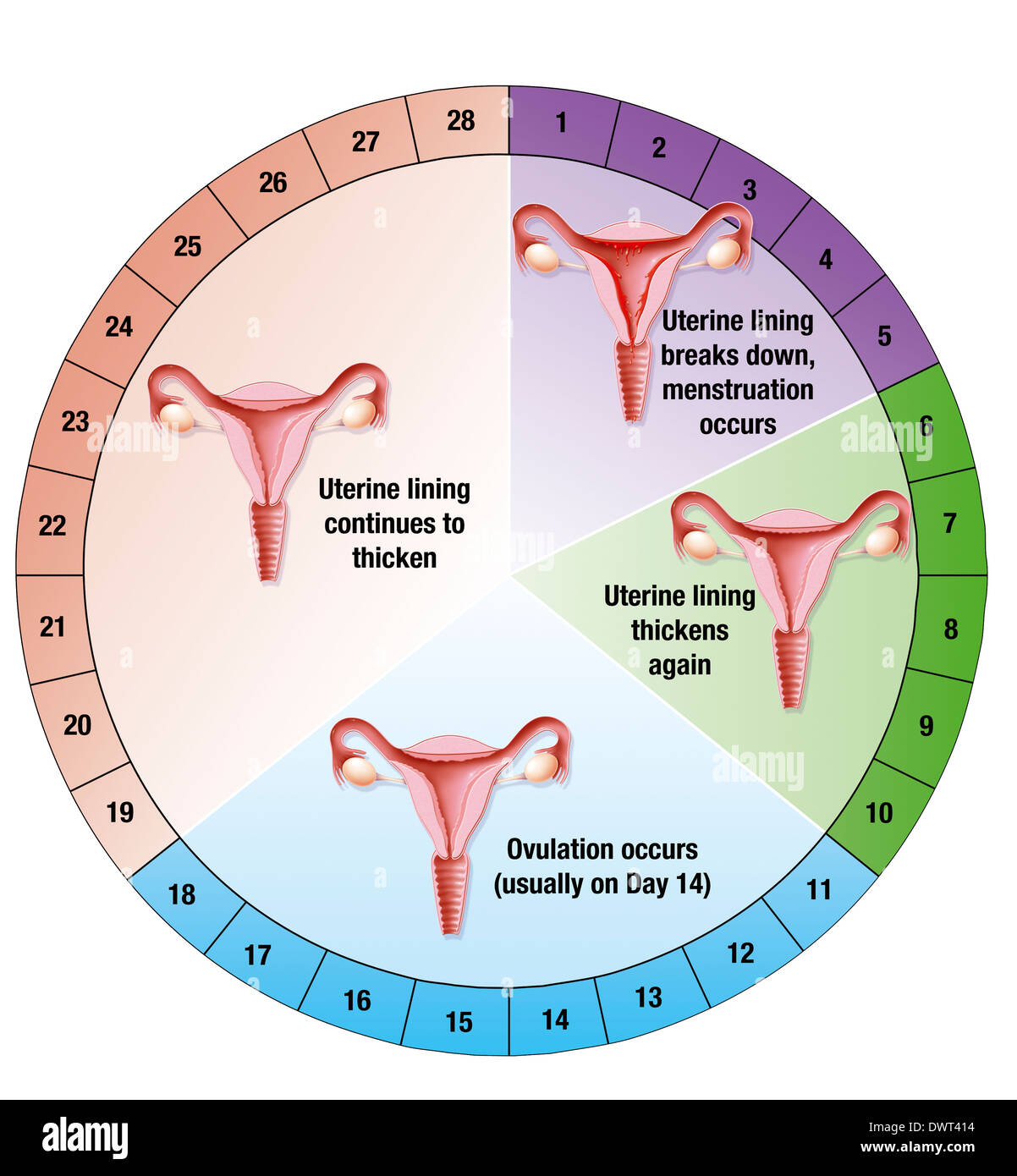 menstrual cycle diagram with ovulation vauxhall stereo wiring drawing stock photo 67527520 alamy