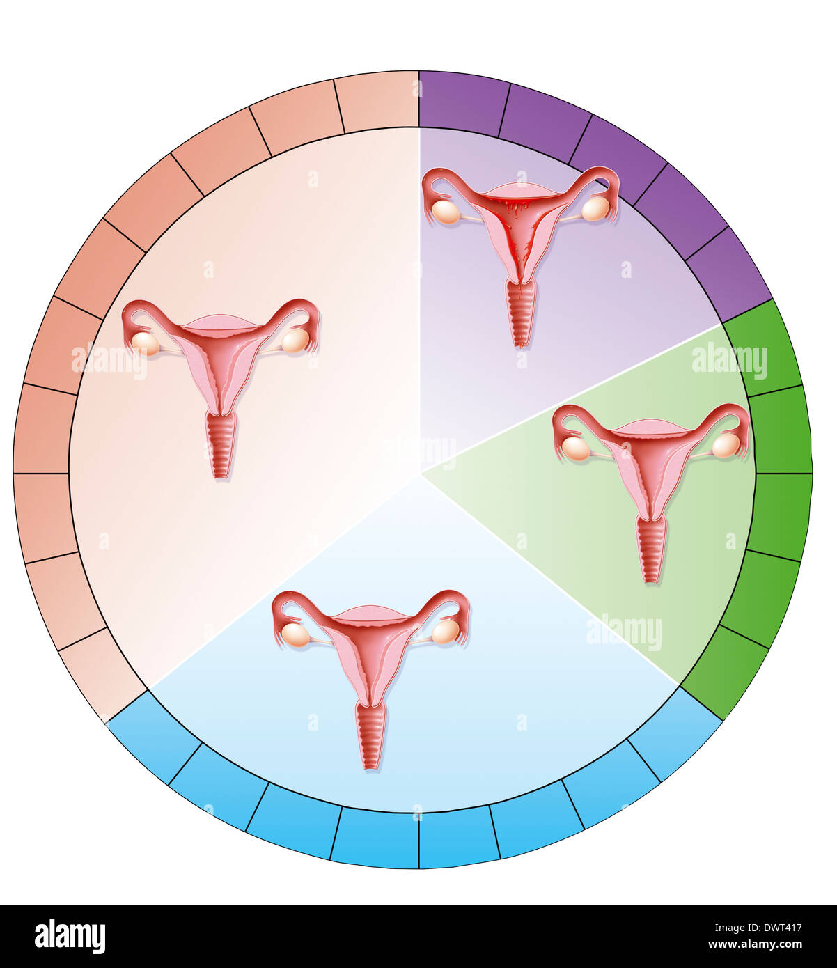 menstrual cycle diagram with ovulation 1988 ford ranger wiring drawing stock photo royalty free image