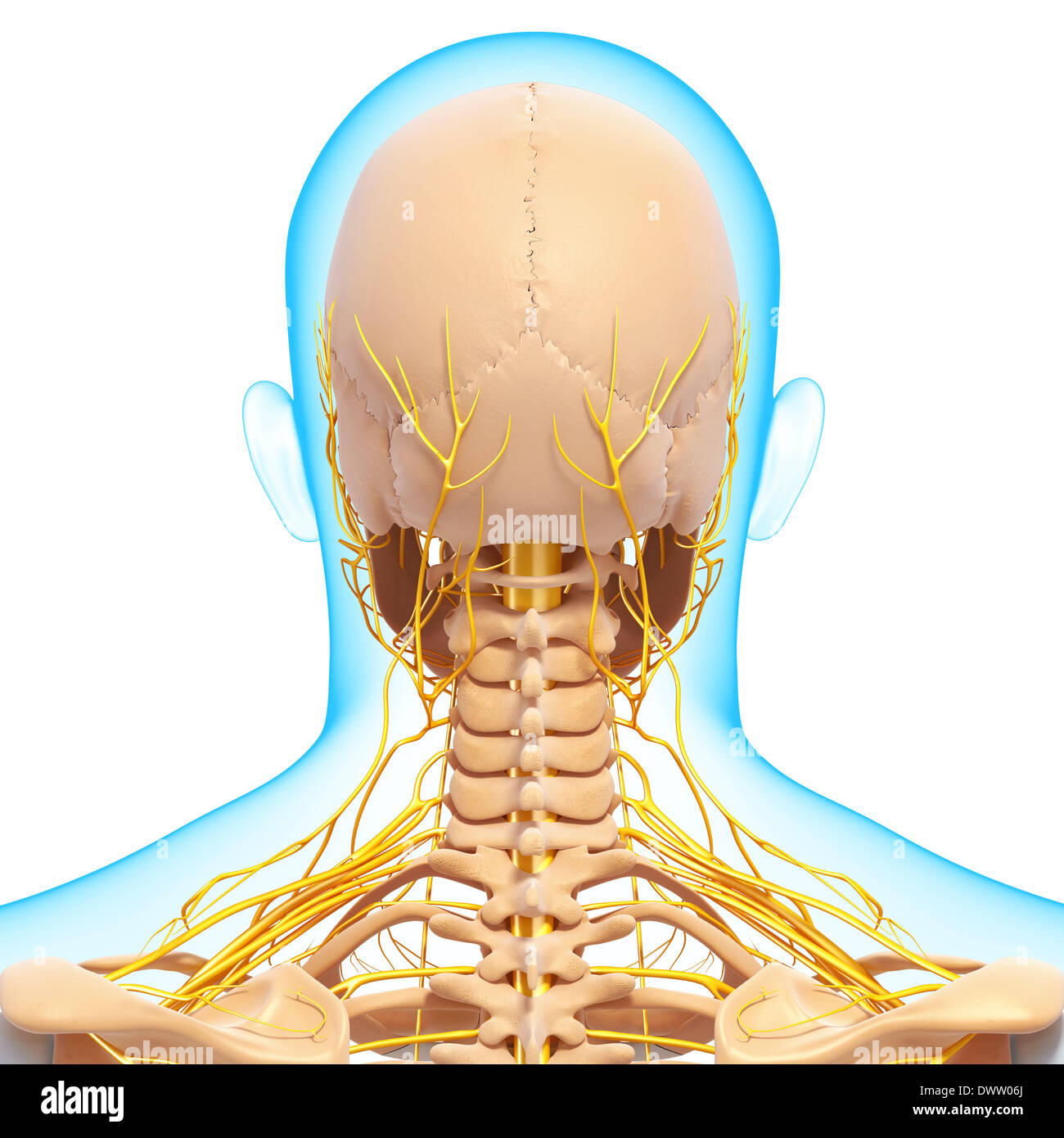 hight resolution of peripheral nervous system head neck drawing