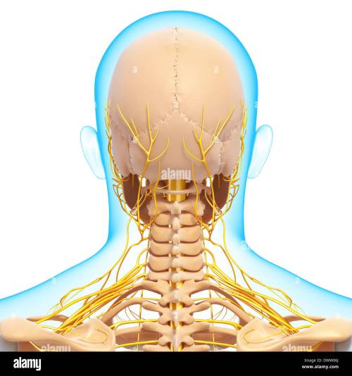 small resolution of peripheral nervous system head neck drawing