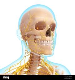 peripheral nervous system head neck drawing stock photo 67546554 rh alamy com human side of head and neck head and neck nerves diagram worksheet [ 1300 x 1390 Pixel ]