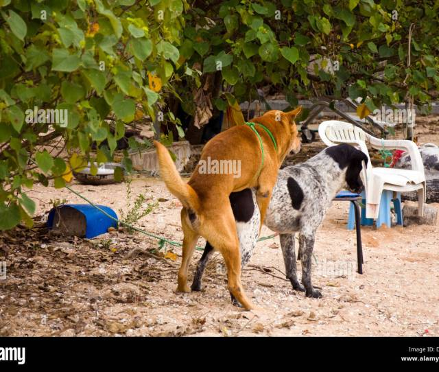 Two Dogs Fucking Copulating Mating Bitch Dog Beach
