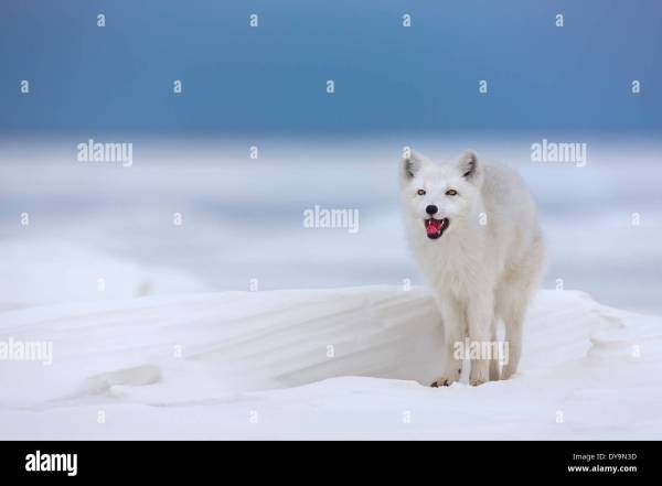 Arctic Fox Winter Coat