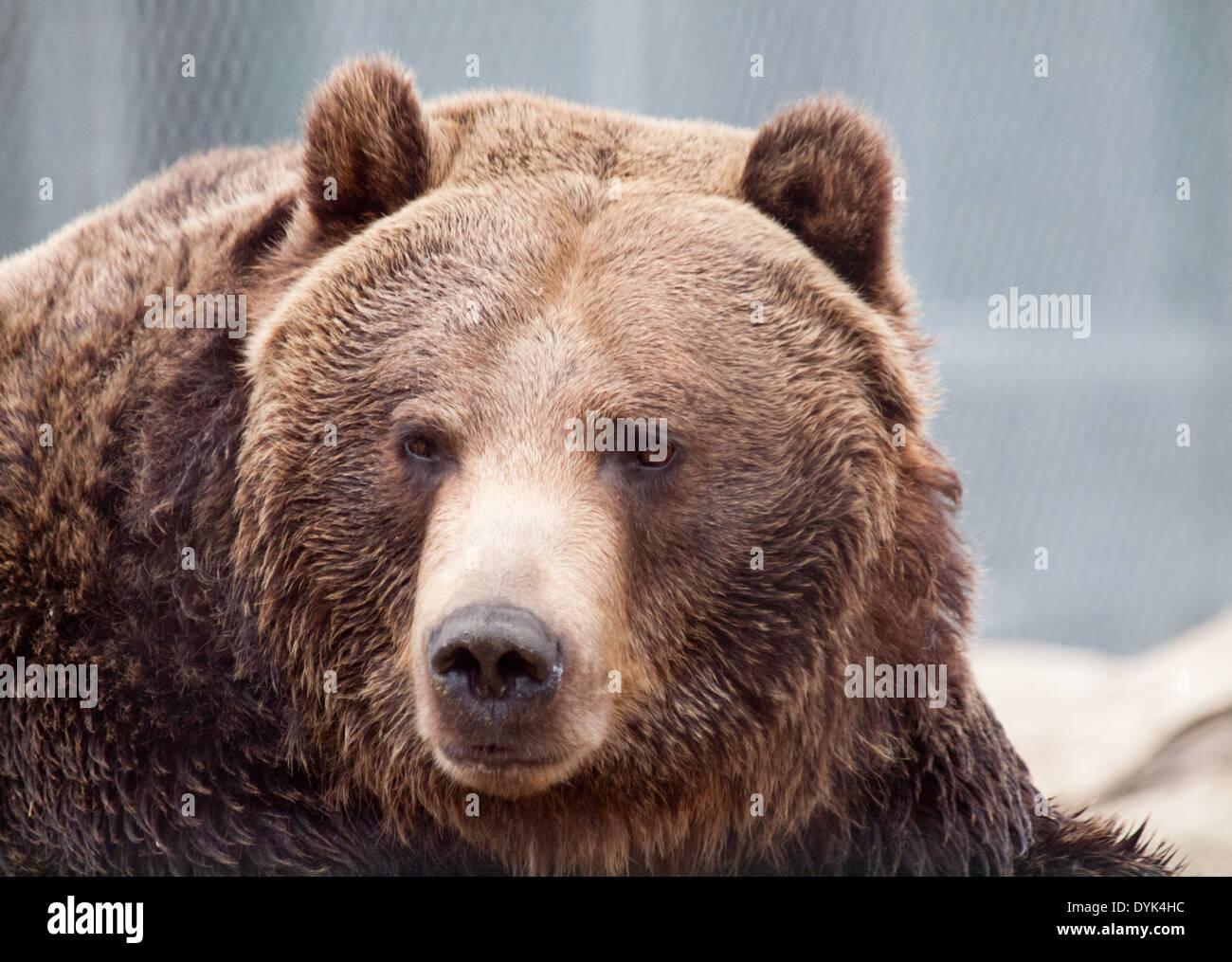 silvertip bear stock photos