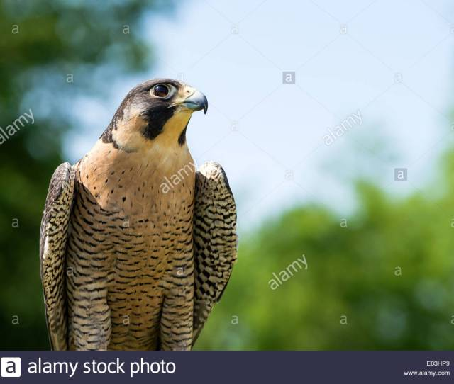 Portrait Of Peregrine Falcon Falco Peregrinus Aka Duck Hawk The Fastest Animal On Earth