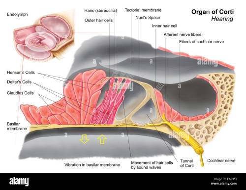 small resolution of anatomy of the organ of corti part of the cochlea of the inner ear
