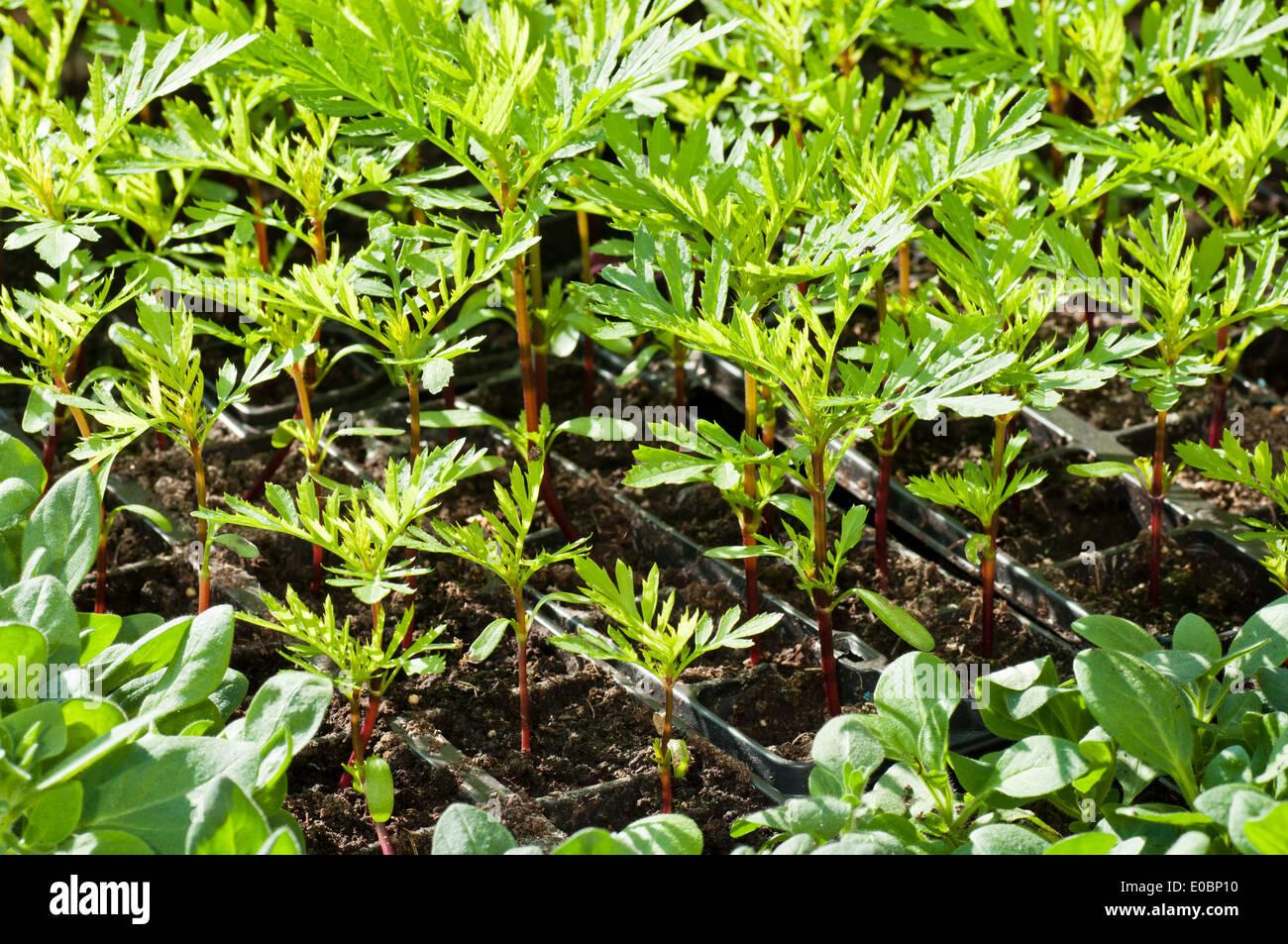 marigold plant seedlings in
