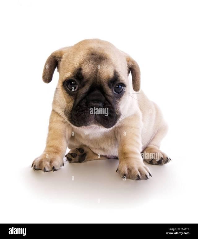 fat bulldog puppy stock photos & fat bulldog puppy stock