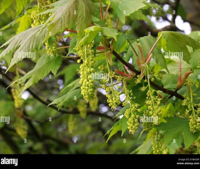 Sycamore Tree Flowers Acer Pseudoplatanus Aceraceae Sapindaceae