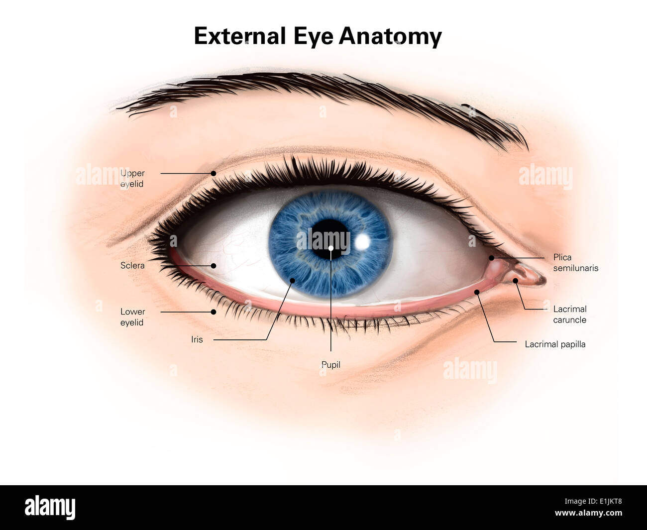 External Anatomy Of The Human Eye With Labels Stock Photo Alamy