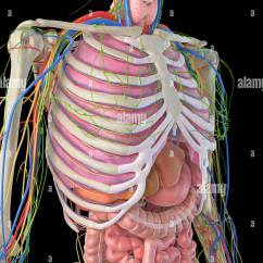 Diagram Of Ribs And Organs Square D Lighting Contactor Wiring Human Ribcage Internal Computer Artwork Stock Photo