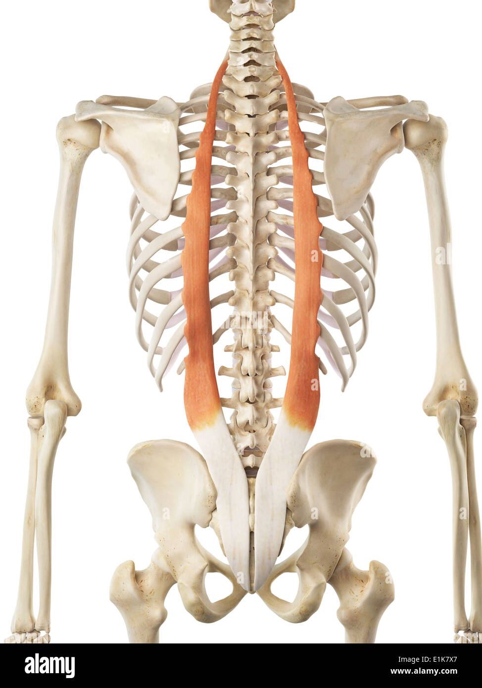 diagram of rib cage and muscles lung sounds muscle ribs ribcage stock photos images human iliocostalis computer artwork image