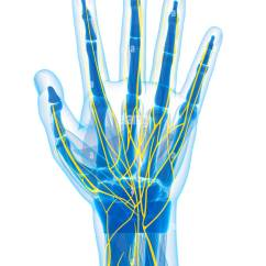 Hand Nerves Diagram 1997 Ford Expedition Stereo Wiring Human Stock Photos Images Alamy Computer Artwork Image
