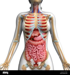 human digestive system and ribcage computer artwork stock image [ 1300 x 1390 Pixel ]
