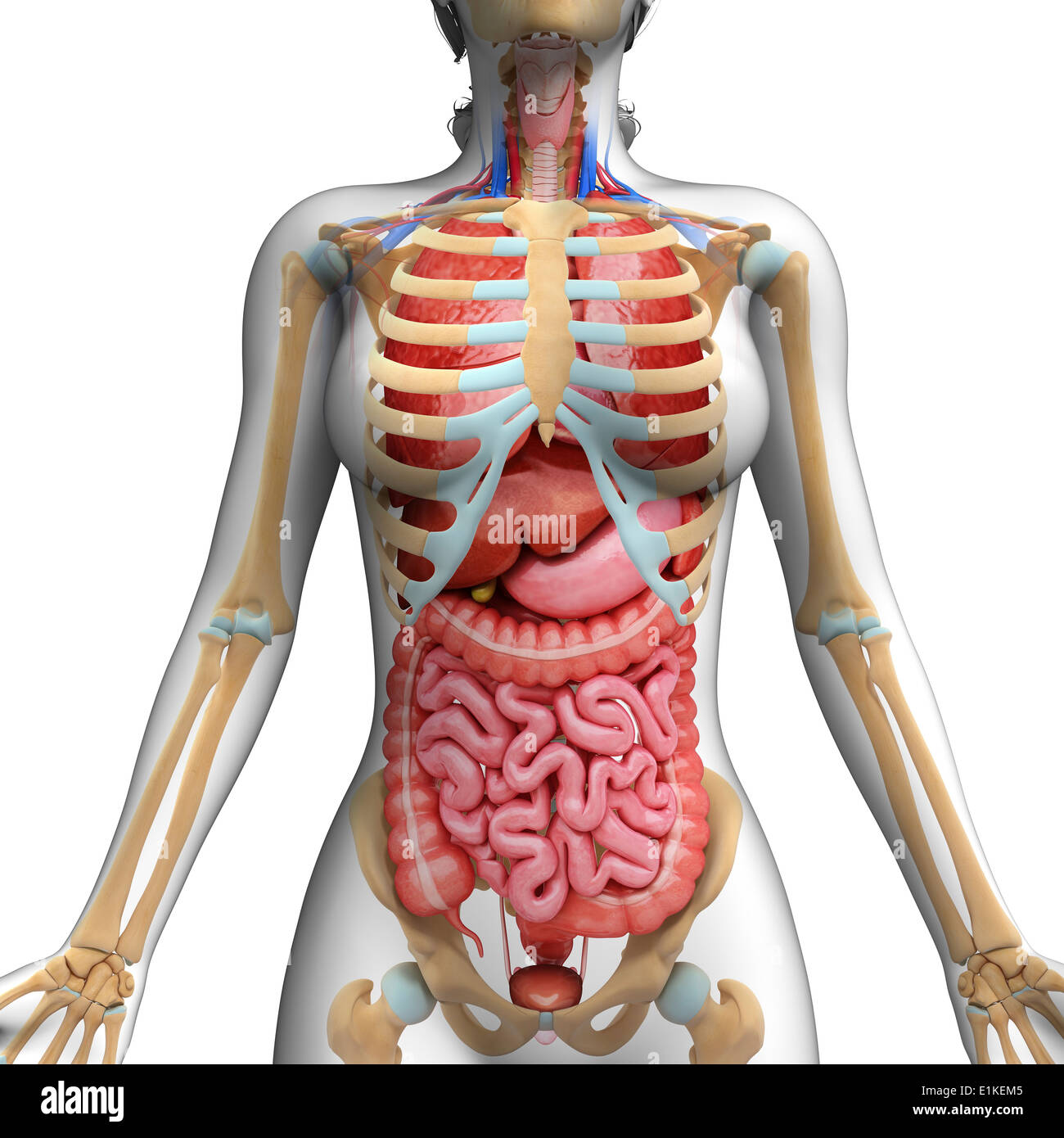 hight resolution of human digestive system and ribcage computer artwork stock image