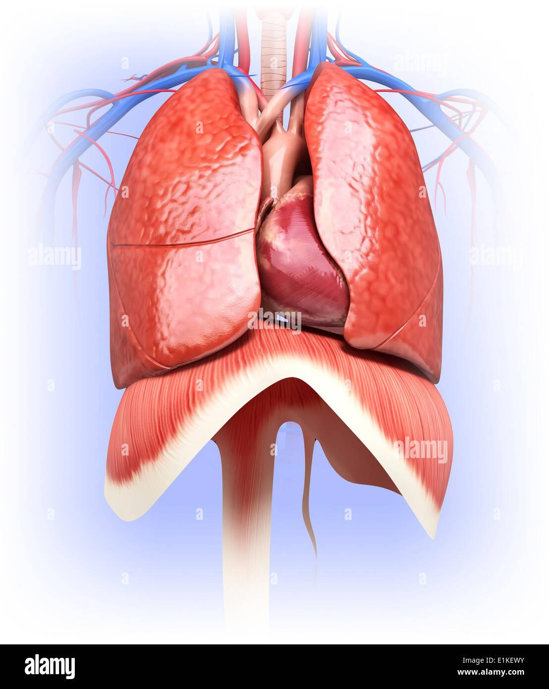 human heart and lungs diagram hayward super ii pump wiring computer artwork stock photo 69884919 alamy