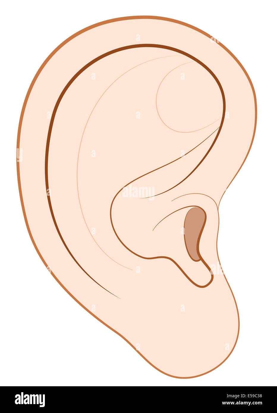 medium resolution of illustration of a human right ear