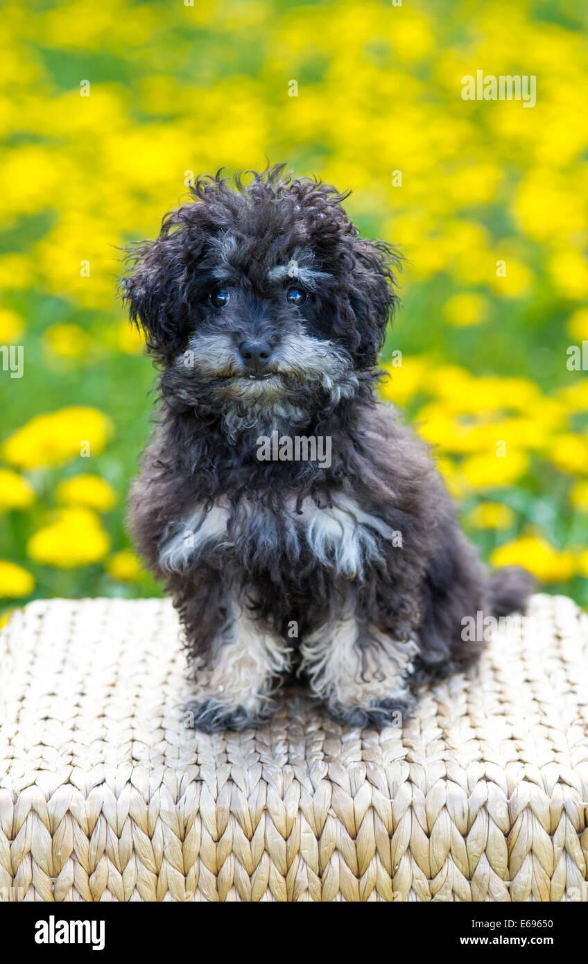 Black Teacup Poodle : black, teacup, poodle, Poodle,, Teacup, Black, Austria, Stock, Photo, Alamy