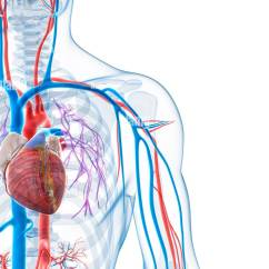 Human Vascular Anatomy Diagram Wiring For Telstra Phone Socket System Computer Artwork Stock Photo 73690120 Alamy