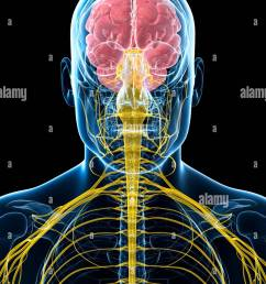 human brain and spinal cord computer artwork stock image [ 975 x 1390 Pixel ]