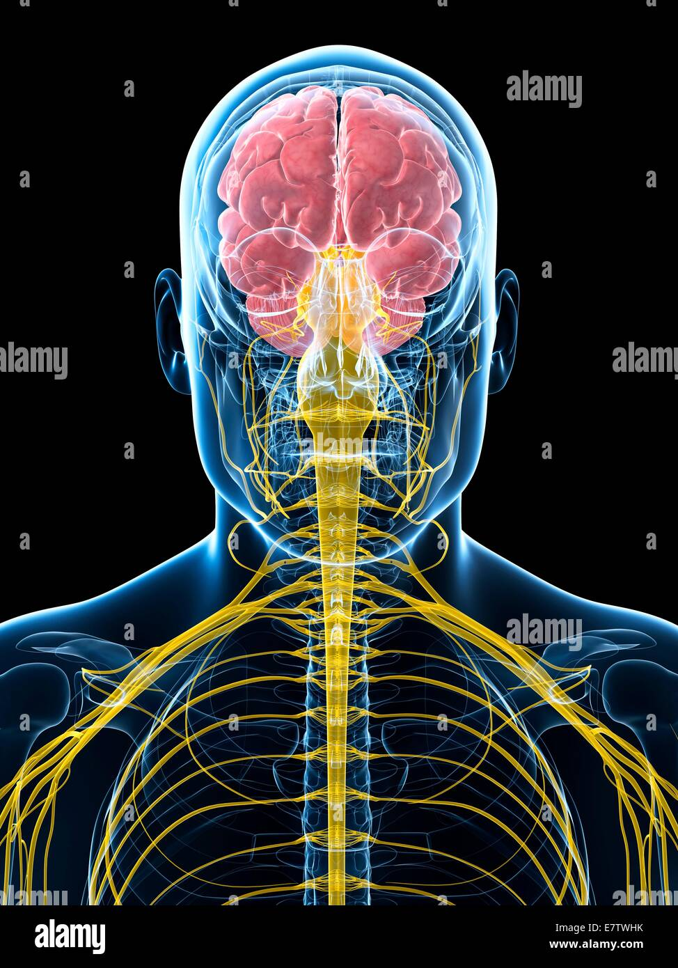 hight resolution of human brain and spinal cord computer artwork stock image