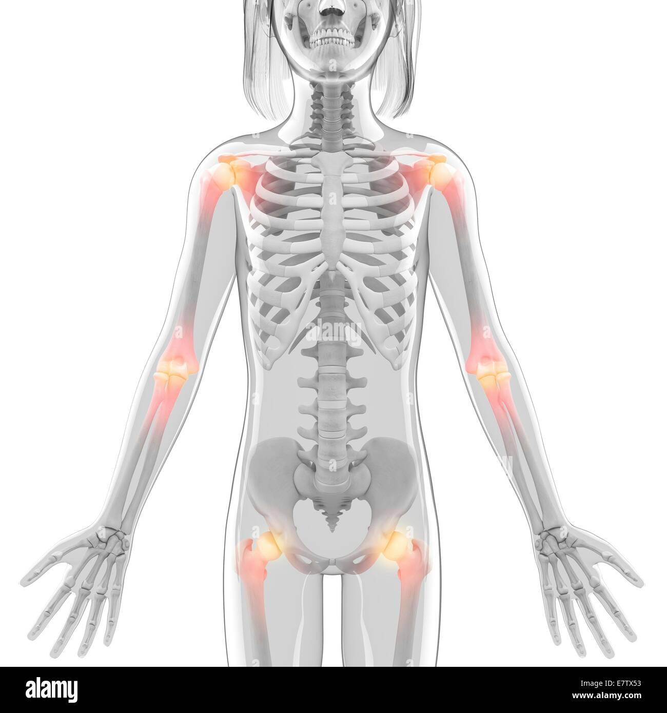 Hip Joints Skeleton Stock Photos Amp Hip Joints Skeleton
