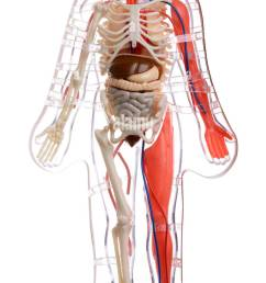 3d cut away diagram of the human body [ 712 x 1390 Pixel ]