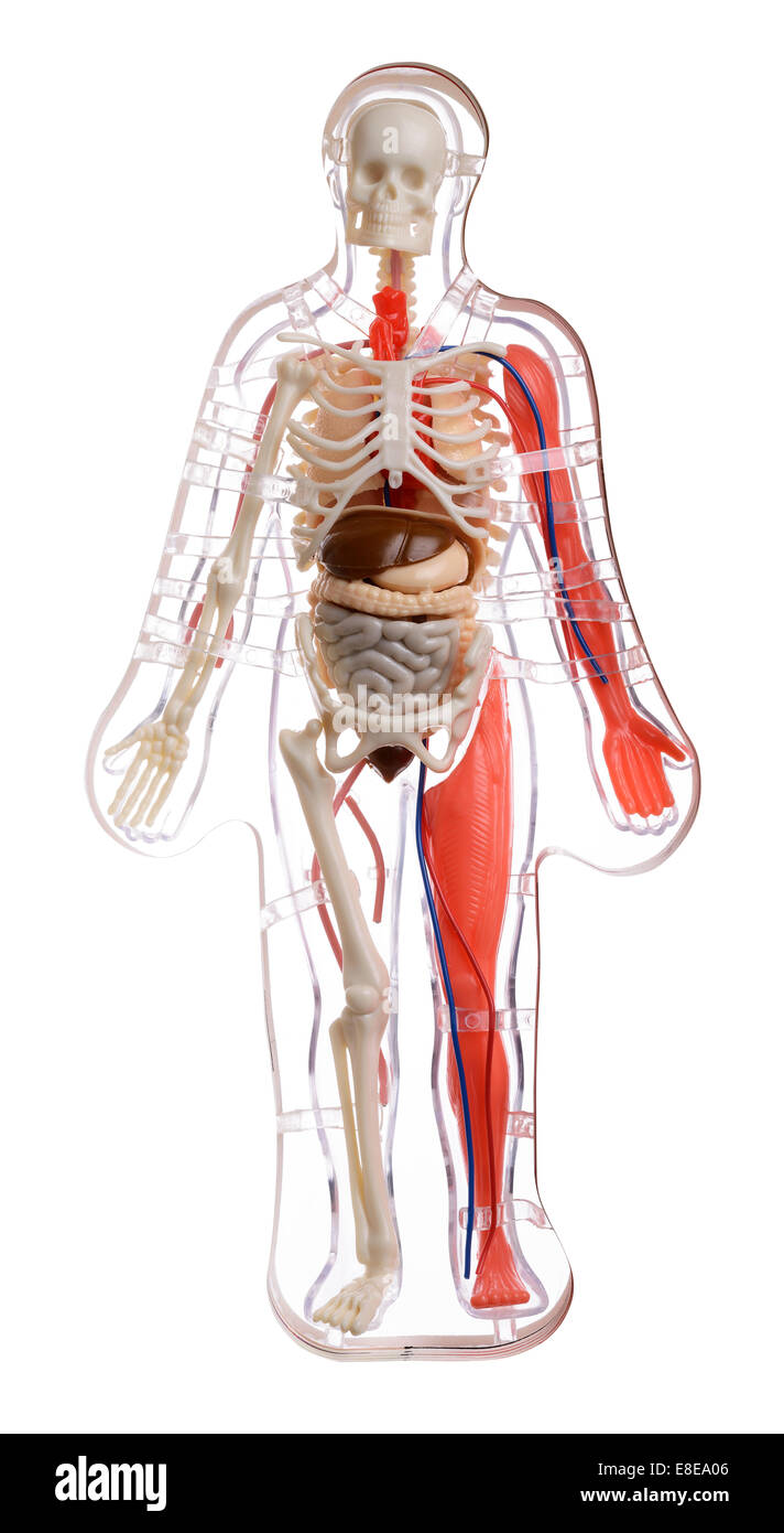 hight resolution of 3d cut away diagram of the human body