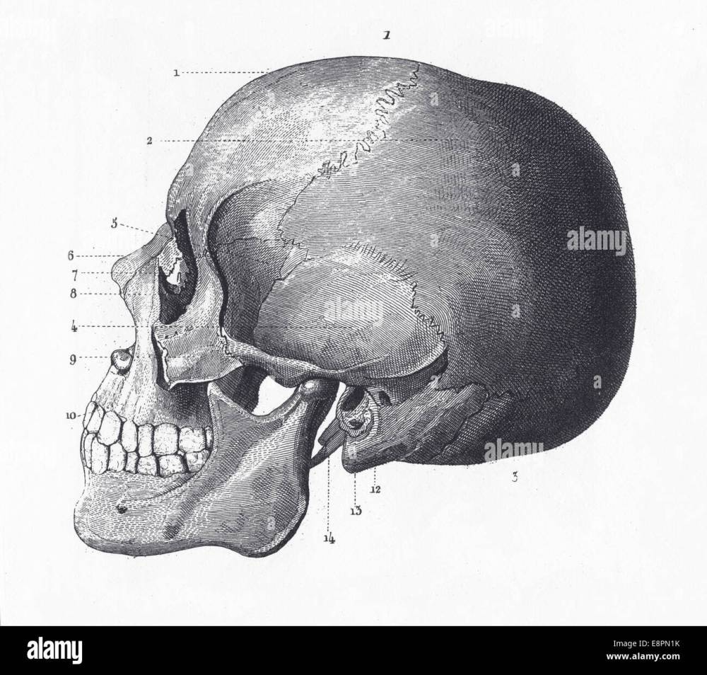 medium resolution of engraved illustrations of the bones of the head from iconographic encyclopedia of science literature and