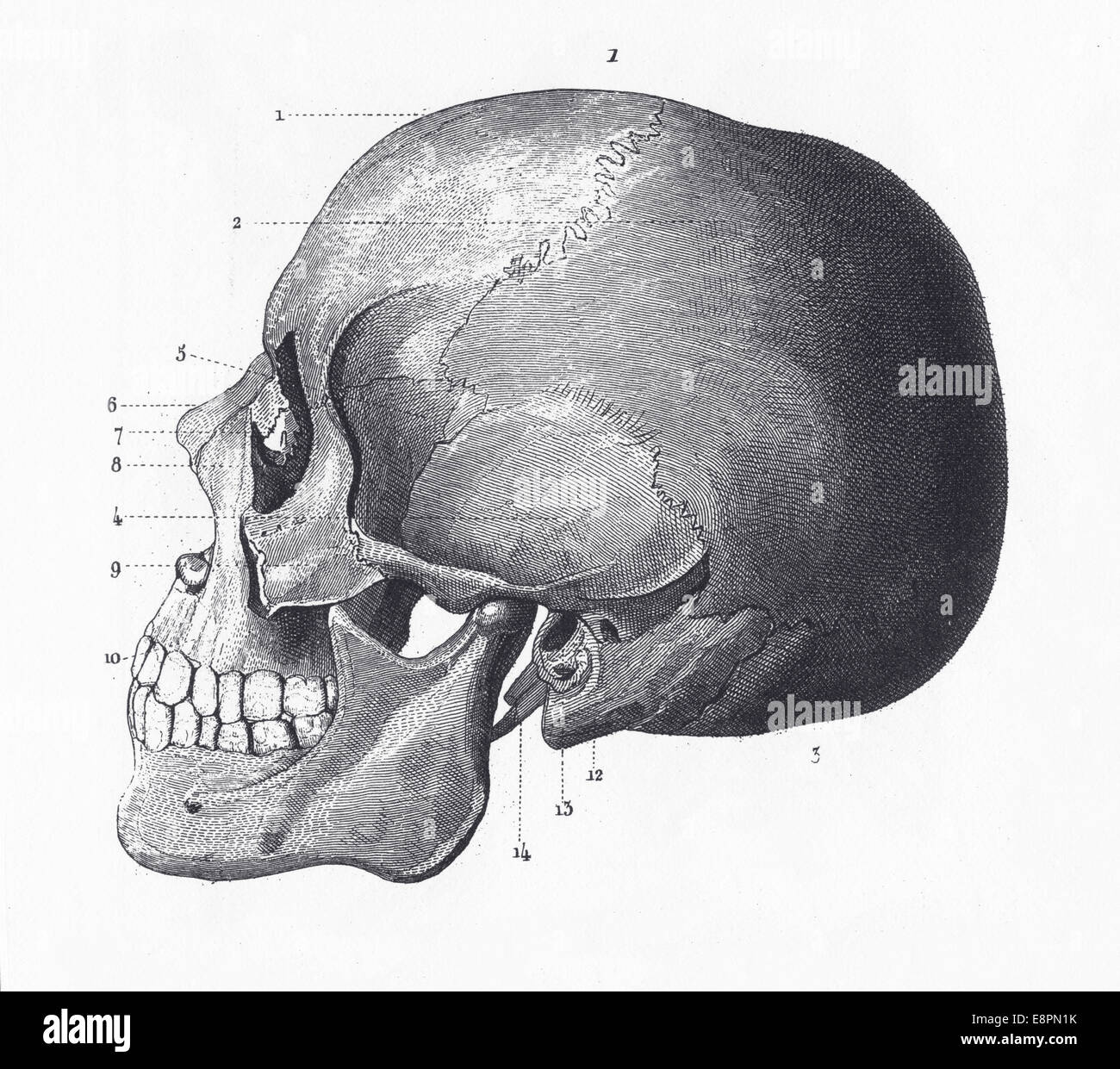 hight resolution of engraved illustrations of the bones of the head from iconographic encyclopedia of science literature and