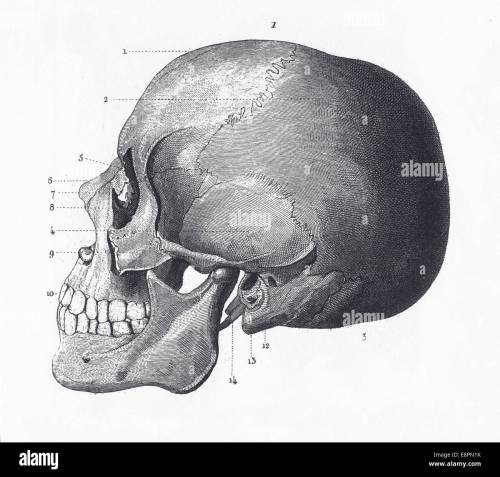 small resolution of engraved illustrations of the bones of the head from iconographic encyclopedia of science literature and