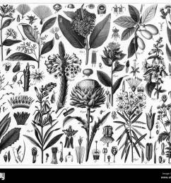 engraved illustrations of cultivated plants from iconographic encyclopedia of science literature and art published in 1851  [ 1300 x 1125 Pixel ]