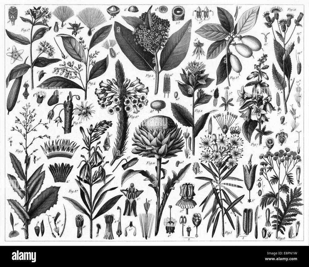 medium resolution of engraved illustrations of cultivated plants from iconographic encyclopedia of science literature and art published in 1851
