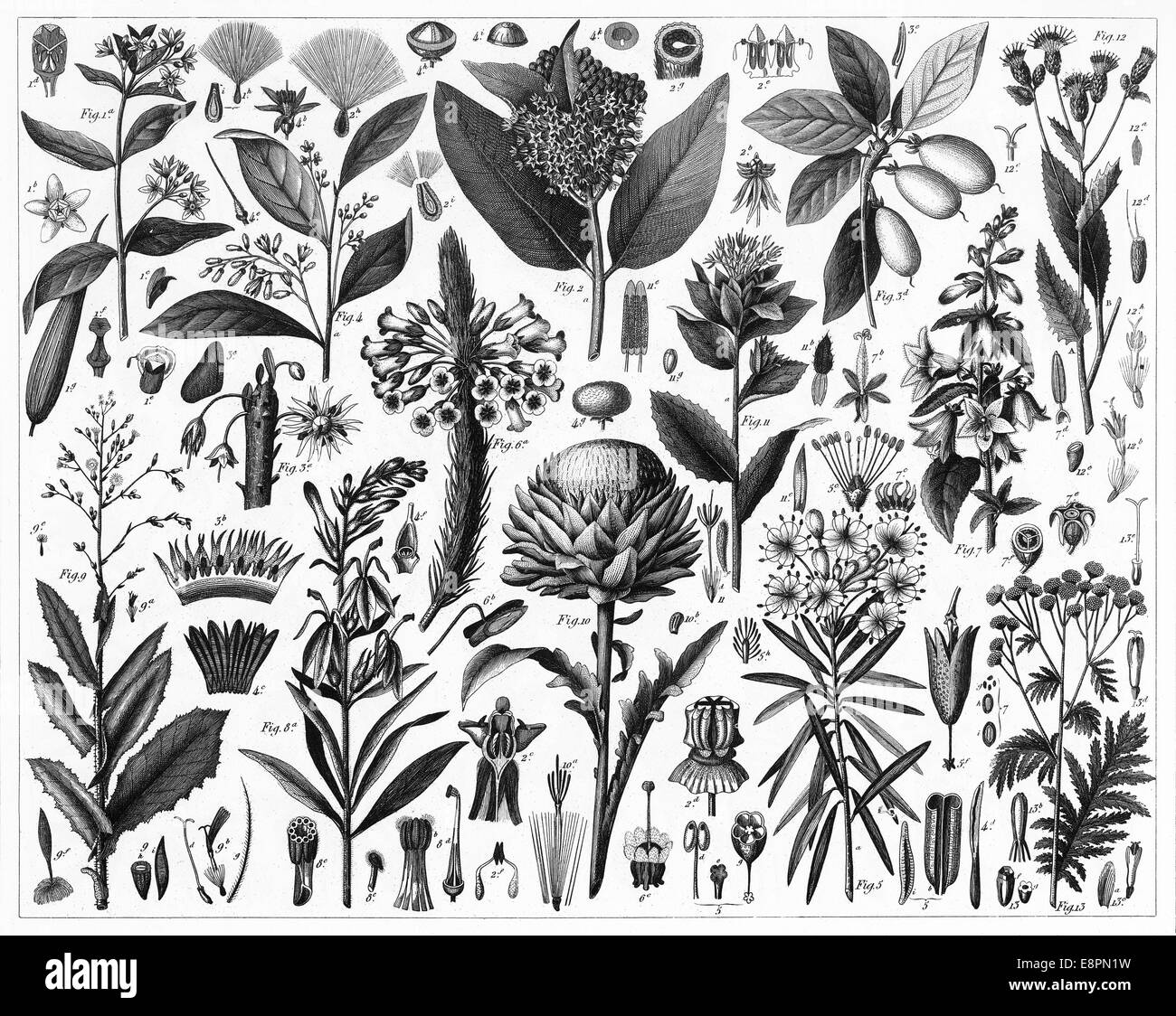 hight resolution of engraved illustrations of cultivated plants from iconographic encyclopedia of science literature and art published in 1851