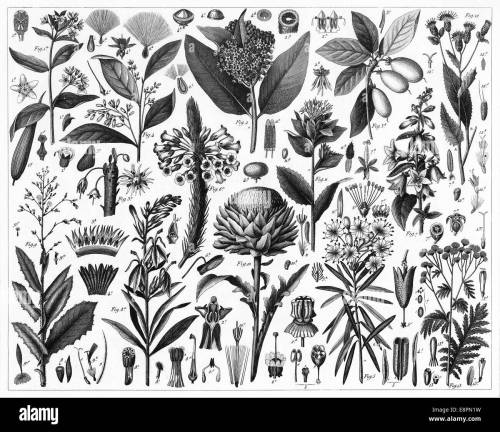 small resolution of engraved illustrations of cultivated plants from iconographic encyclopedia of science literature and art published in 1851