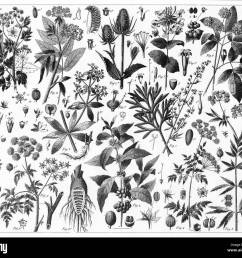 engraved illustrations of cultivated plants from iconographic encyclopedia of science literature and art published in 1851  [ 1300 x 1129 Pixel ]