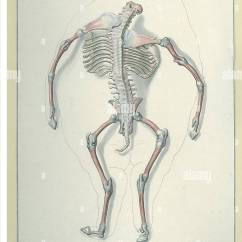 Fetal Pig Skeleton Diagram Wiring Color Codes Date Ca 1820 1840 Image Description A Headless Fetus With Exposed Nlm Hidden Treasure P 101 Resource N