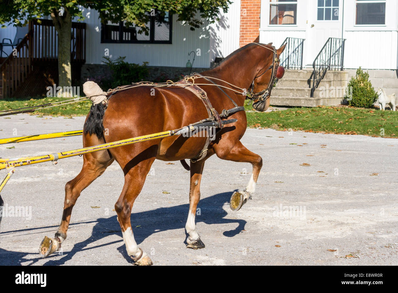 hight resolution of rear view of hackney pony in harness heading out to work