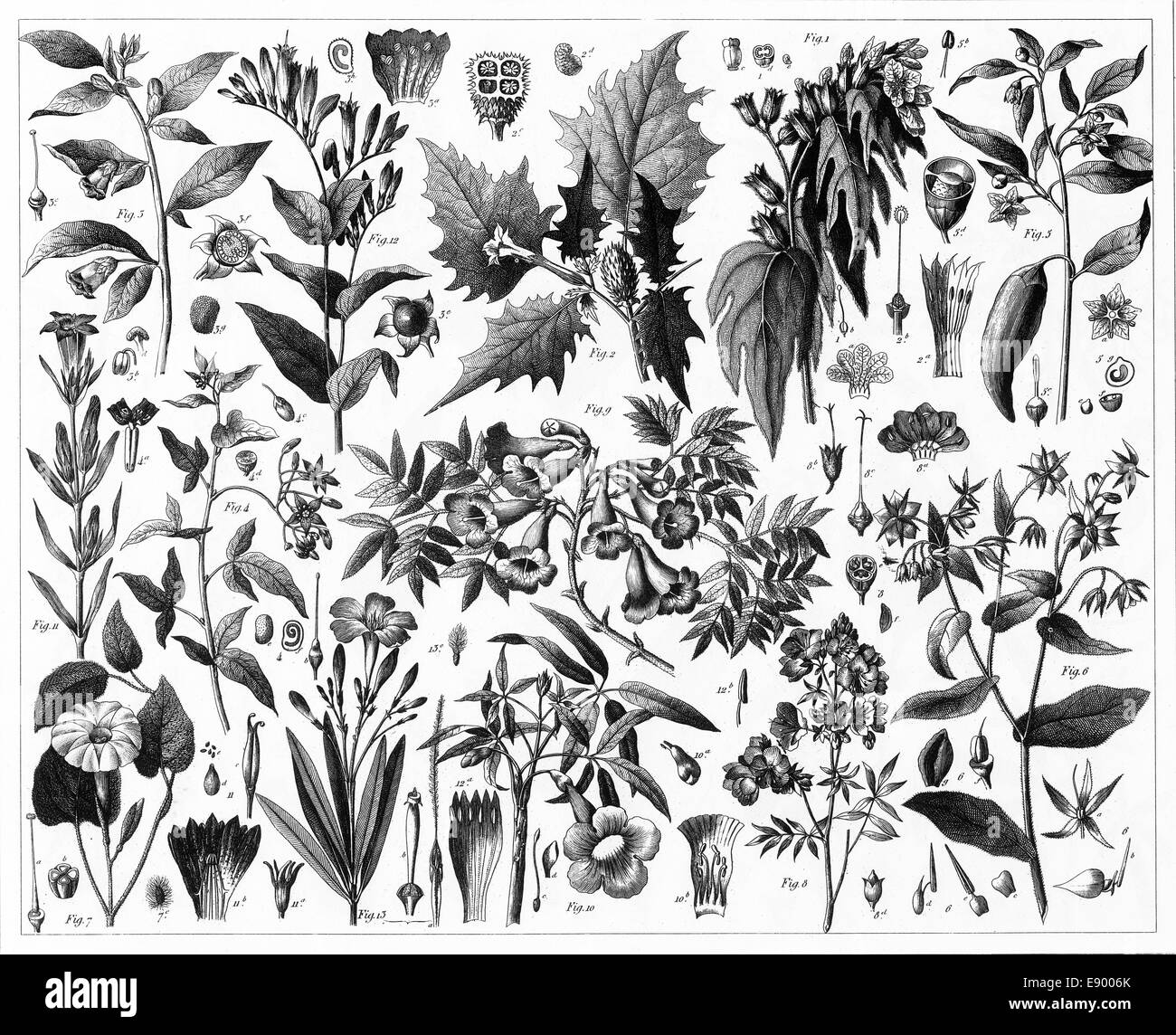 hight resolution of engraved illustrations of toxic plants from iconographic encyclopedia of science literature and art published in 1851