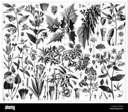 small resolution of engraved illustrations of toxic plants from iconographic encyclopedia of science literature and art published in 1851